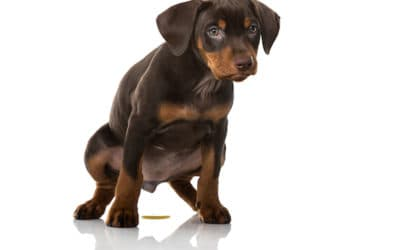 How to Get Rid of Pet urine from Your House