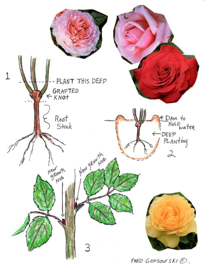 Planting, pruning and caring for  Roses