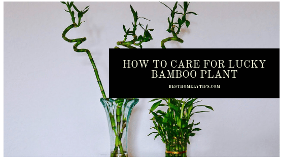 How to Care for Lucky Bamboo Plant