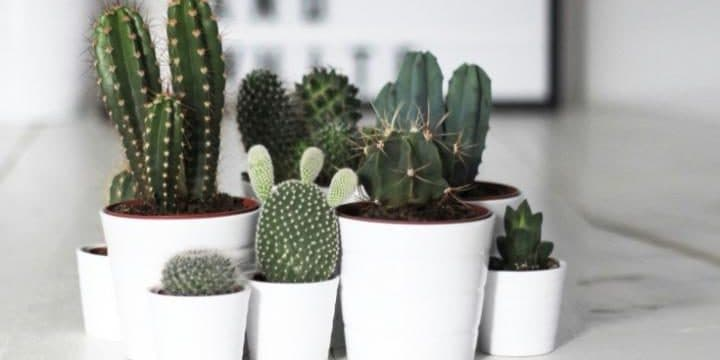 Care-For-Cactus-Plants-location