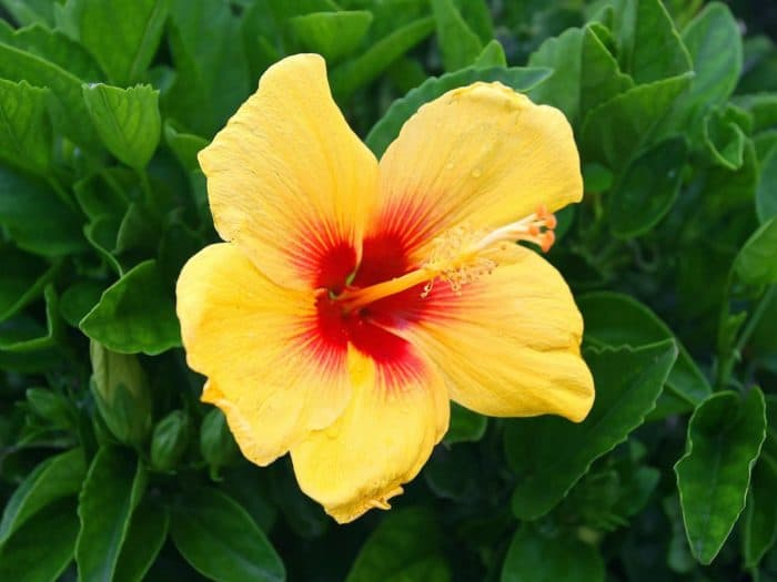 Care For Hibiscus Plants