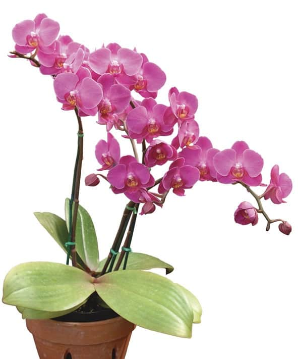 Care for Orchids Indoors