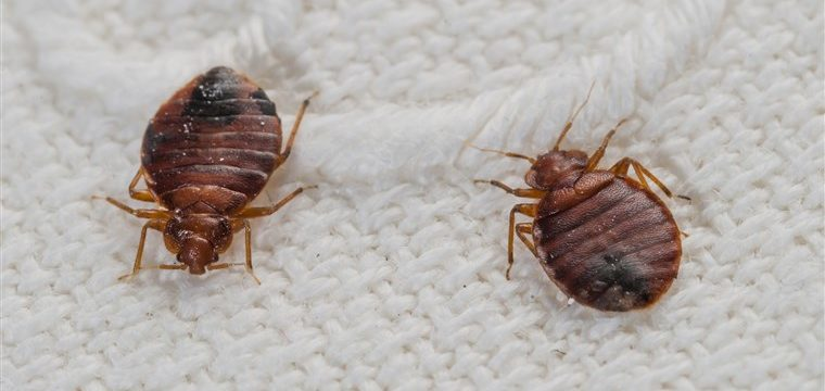 How-to-Get-Rid-of-Bedbug