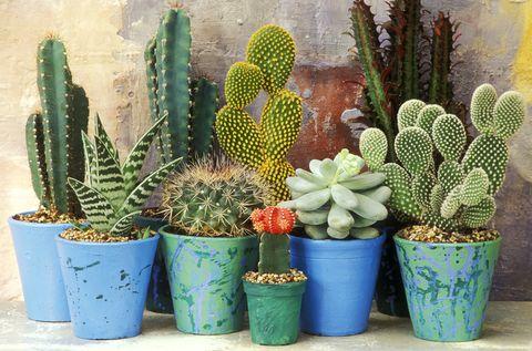 watering  Cactus Plants