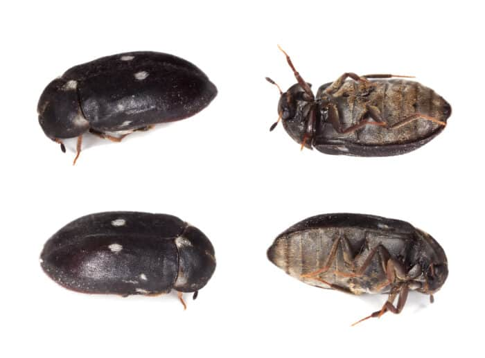 How to Prevent Carpet Beetles Infestation
